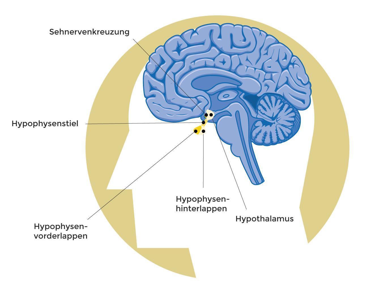 Bild: Wo befindet sich die Hirnanhangsdrüse?