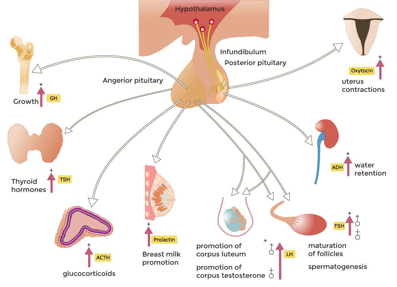 Bild: Wie funktioniert die Hirnanhangsdrüse?