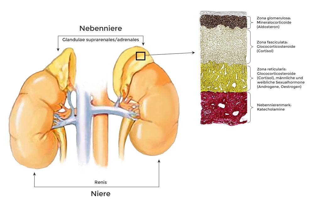 Bild: Lage und Funktion der Nebennieren